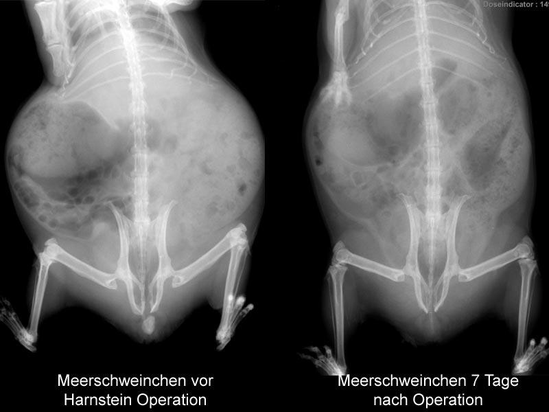 Meerschweinchen-mit-Harnstein